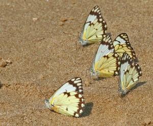 бабочки на песке